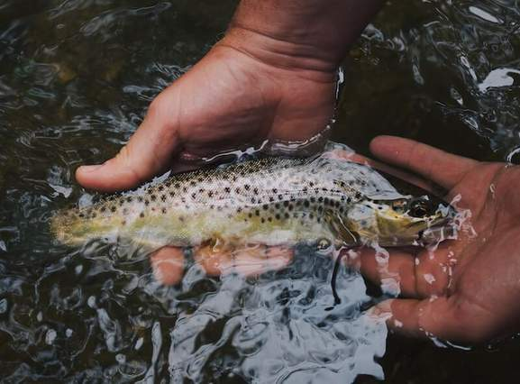 person holding black and brown salmon fish