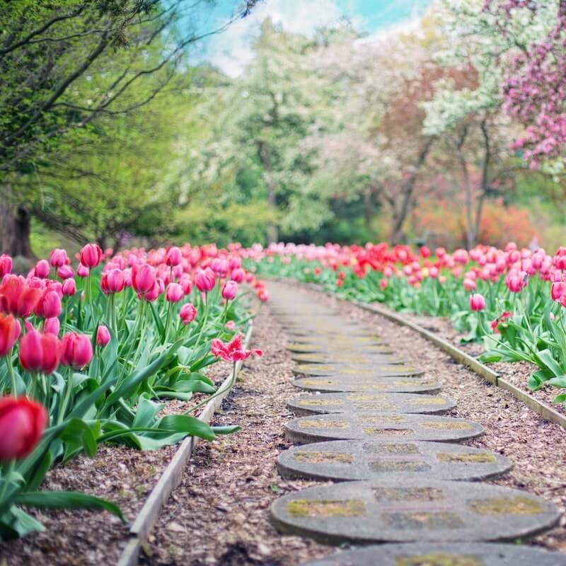 Pink tulips lining garden path