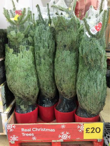 Potted Real Christmas Tree At Tesco 20 Hotukdeals