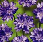 Up to 50% off bulbs @ RHS / Royal Horticultural Society