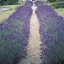 42 free lavender plants (£5.95 p&p) @ Fothergill's plants