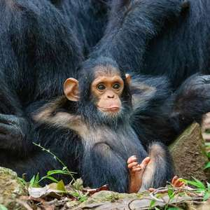 Chester Zoo Virtual Tour - includes Chimpanzee's and Reticulated Pythons