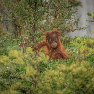 Chester Zoo Virtual Tour 15th May - includes orangutans and cheetahs