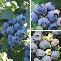 3 for 2 garden ready 2 litre potted soft fruit plants (cheapest free) @ Fothergill's Plants (£4.95 delivery)