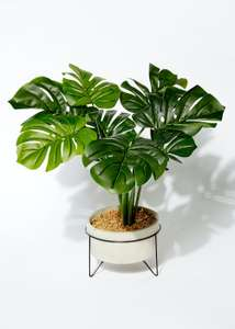 Cheese Plant in Cement Pot (50cm x 22cm) £12.00 + Free Click & Collect/£3.95 Delivery @ Matalan