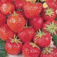 12 Strawberry plants @ Mr Fothergills £2.95 delivered!!!