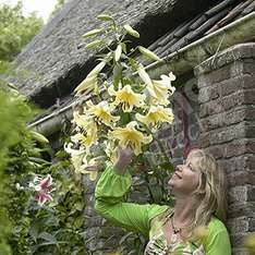15 x Jumbo 'Skyscraper' Lily bulbs Collection - £10.98 delivered @ Blooming Direct + 10.5% TCB