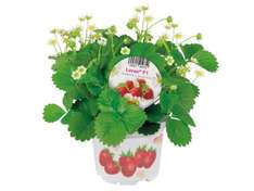Strawberry Plant 3 for £3 at LIDL