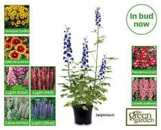 Perennials Plant once for beautiful colour every year from 10th £2.49  at Aldi