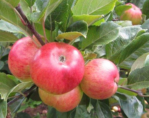 Orchard Fresh Royal Gala Apples £1.29 - 7 per pack @ ALDI