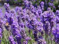 English Lavender pack  of 3 £2.49 @ Lidl from 10 July to 16 July