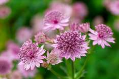 The Royal Holticultural Society Searchable Database of  Plants Free @ RHS online