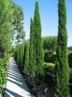 Italian Cypress (Cupressus sempervirens) WAS £19.99 each NOW £3.35 EACH! £19.94 for 6 + £3.95 del £23.89 @ Van Meuwen