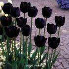All orders will receive 25 Queen of the Night Tulips worth £7.95 free at J Parkers