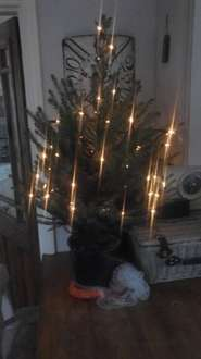 3FT SMALL NORWAY SPRUCE  REAL XMAS TREES £10.00 @ SAINSBURYS