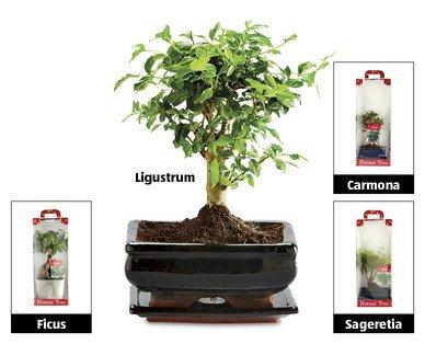 Bonsai Tree £7.99 at Aldi instore from 14th Dec