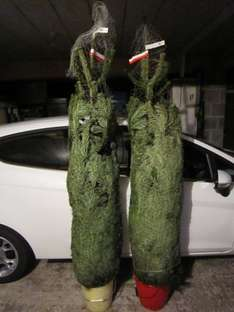 Real Nordmann fir Xmas trees up to about 2m for £11.99 @ Home Bargains