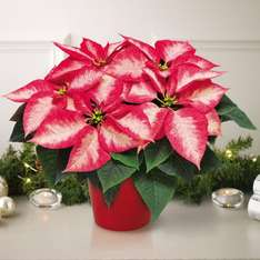 Poinsettia 'Ice Crystal' Christmas Gift £7.99 delivered & other offers @ T&M