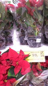 Xmas Poinsettia 13cm Plant for 99p at Home Bargains