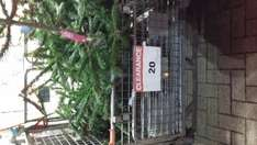 christmas treees now 20p b and q