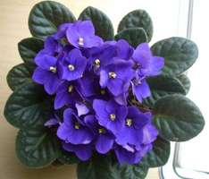 Beautiful African Violet found for £1 @ Poundland