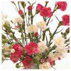 15 Spray Carnations - £4.98 delivered @ Teco !