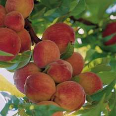 Thompson and Morgan Peach 'Peregrine' trees 2 for £20 -  p&p (£4.95)