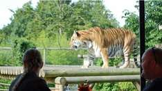Double Discount Savings > Half Price PLUS 2 for 1 Tea with the Tigers at Paradise Wildlife Park now £29.50 @ Buyagift