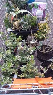 loads of plants and shrubs reduced to 50p at B&Q Stockport instore