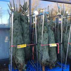 Real Christmas Tree's @ Home Bargains - £11.99 instore