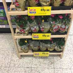 Xmas Potted Roses 49p @ Home Bargains
