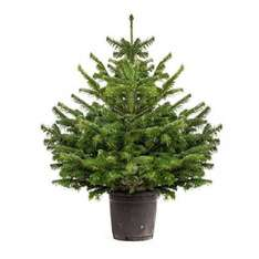 Living Christmas Tree 1-1.2M tall £14.99 (Prime) @ Amazon Deal of the Day