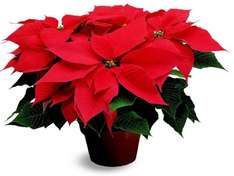 Poinsettia @ Morrisons : large: £2.50 and small £1.50 at Morrisons (Instore)