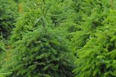 Real Christmas Trees at Wickes reduced to £17.99