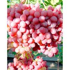 Red Seedless Grapes (loose) £1.69/kg @ Lidl