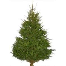 6ft Real Spruce Christmas Trees £5 @ Mannings, Felixstowe
