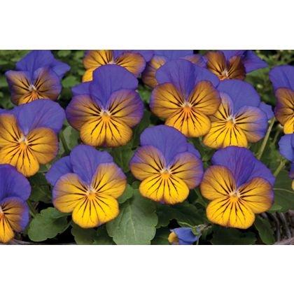 Violas and Pansies: 10p at Homebase