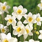 B&Q Bulbs (Flowers) of all varieties. £0.50!