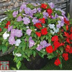 48 begonia plug plants £11.99 % free delivery this weekend with code @ Thompson & Morgan