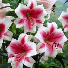 40 beautiful lilies for £6.96 + £3.99 P&P @ jparkers.co.uk