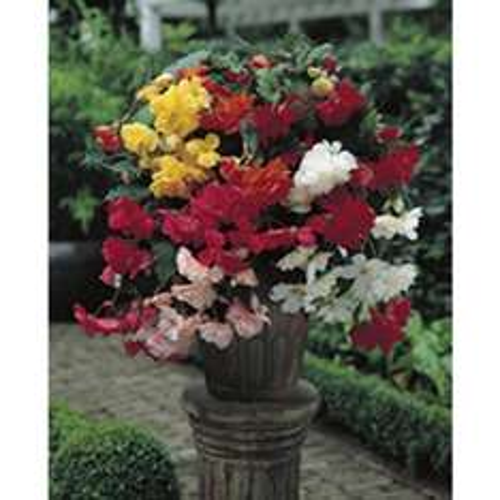Wilko Bulbs Begonia Cascade Mix 5/6 10pk - £1 @ wilkos