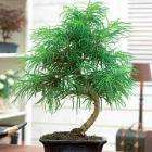 Bonsai Golden Larch just £11.99 Delivered @ Thompson & Morgan + Free Carnations Bouquet