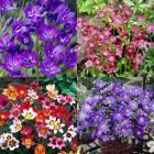 Free 80 Bulb Flower Collection + Six Pulsatilla worth £17.85