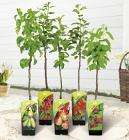 Large Fruit trees @ Lidl for £9.77