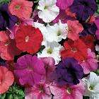42 FREE Petunias - Mixed Colour PLUS 5 FREE Begonias - Just pay £3.69 postage and packing @ Thompson & Morgan