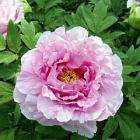 Tree Peony 'Er Qiao' just £2.99 Plus Free P & P @ Thompson & Morgan (was £17.99)