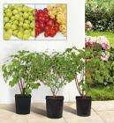 Large Berry and Currant Bushes @ Lidl £6.48