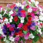 Get 42 Petunia Easy Wave Plug Plants for just £4.99 Delivered @ Thompson & Morgan (using code)