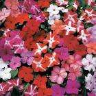 Get 84 Busy Lizzie Accent Plants for just £2.49 + P &P @ Thompson & Morgan (equal to 7p per plant)
