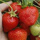 Grow the largest crops of strawberries with this new variety 6 plants for £12.99 @THOMPSON & MORGAN